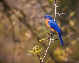 Bluebird in a Pear Tree
