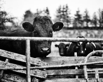 Ireland Black and White Photography, Irish Cows, Fine Art Print