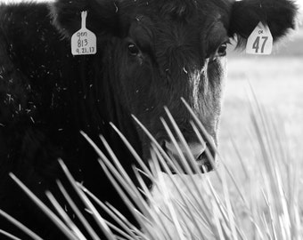 Cow in Yucca | Ranch Photography | Black and White