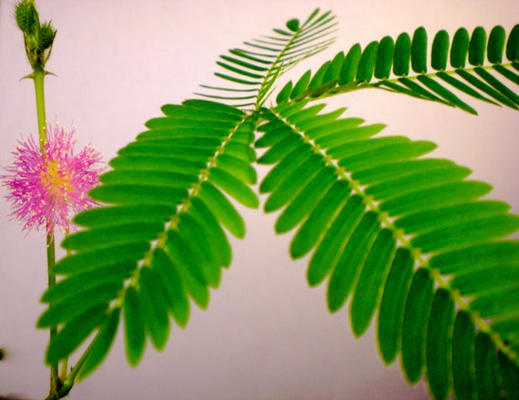 how to get seeds from mimosa pudica plant