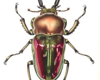 Rainbow Stag Beetle print