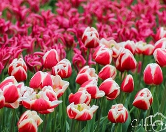 Tulips of the Skagit Valley Tulip Festival