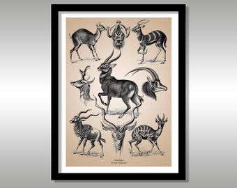 Ernst Haeckel ~ Antilope ~ Art Forms of Nature ~ Reproduction Art Print ~ Science ~ Nature ~ FREE Shipping to UK Customers