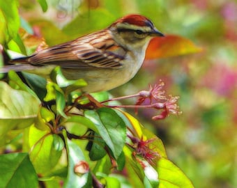 Pretty In Pink - PHOTO PRINT - Chipping Sparrow in Crabapple Tree