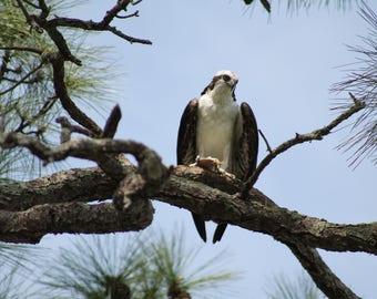 osprey, fish hawk , wildlife