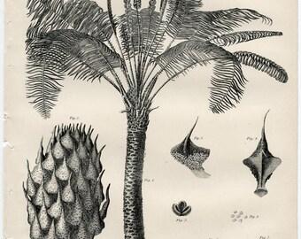 Sago palm botany engraving 1878