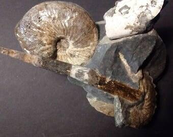 Ancient Ammonites