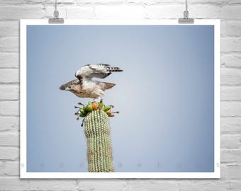 Hawk Picture, Arizona Nature Photography, Saguaro Photography, Bird Art, Cactus Art, Wildlife Photography, Bird Photography, Red Tail Hawk