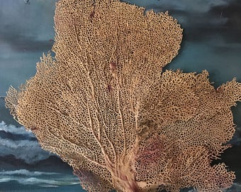 Red Fan Dried Coral Treasure Beach Salt water aquarium 14 x 13 inches