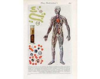 c. 1920's CIRCULATION BLOOD LITHOGRAPH - original antique print - medical anatomy - circulatory artery vein vessel system