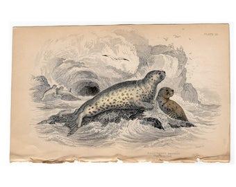 1833 SEAL ANIMAL ENGRAVING - original antique print - marine ocean sea seal animals - the grey seal - seal print by LIzar