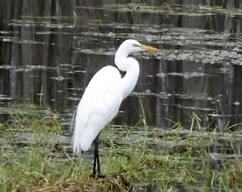 Large white Egret