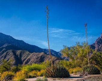 Desert Flowers in the Anza-Borrego Desert State Park, Southern California No.8846 A Fine Art Landscape Photograph