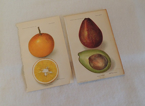 2 Orig 1910 Lithograph 6 x 9 Colored Plates ORANGE & AVOCADO.. U.S.  Ag Yearbook