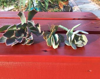 3 Different Succulent Cuttings for Succulent Garden Fairy Garden Wedding Terrium Wreath