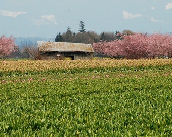Skagit In Spring Photo, wall decor, home decor, spring decor, pink tulips with barn, cottage decor, Skagit Valley