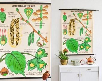 Vintage botanical poster print chart pull down chart map botanical hazelnut plant school chart map