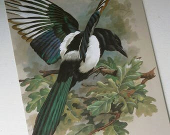 Vintage Bird Book Plate Page of Magpie printed 1965 Illustration 80s reprint
