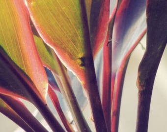 Leaf Photograph - Colorful Leaves - Ti Plant - Tropical Plant - Winter Leaves Art -  Elegant Leaves - Nature Wall Decor - Nature Photograph