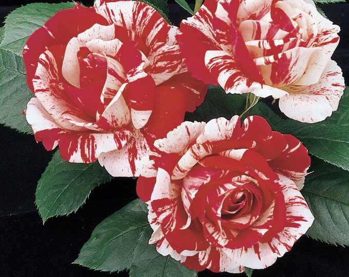 Scentimental ™  Rose Bush - Fragrant Bi-Color Red White Flowers - Easy To Grow Potted Grown Organic Own Root Rose - Spring Shipping