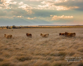 Cow Pictures, Cow Art, Photography Cattle, Ranch Photo, Plains Landscape, Wall Artwork, Pictures for Living Room, Cows in Field, Cow Decor