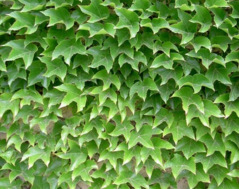 20 Boston Ivy Seeds-Amazingly beustiful and tough Ivy. Will grow in most USDA Zones, beautiful when established with an old world feel