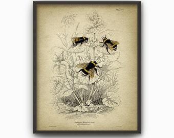 Bumblebee Art Print - Bumblebee Art Illustration - Bumblebee Book Plate Poster - Bumblebee Wall Art Poster (AB313)