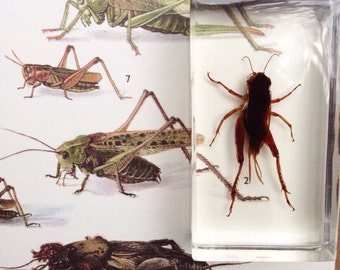 Grasshopper....
