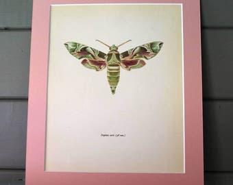 1963 Moth Illustration by Prochazka / entomology / Insect Art / wall decor