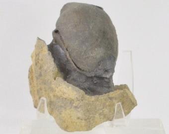 Fossil Brachiopod from Utah