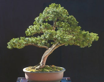 BONSAI - Japanese Yew