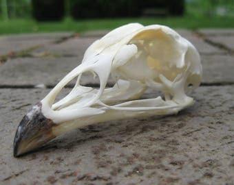 Chicken Skull