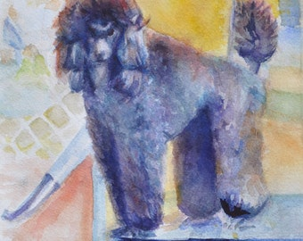 Standard Poodle - Show Pup - Getting Ready to Show