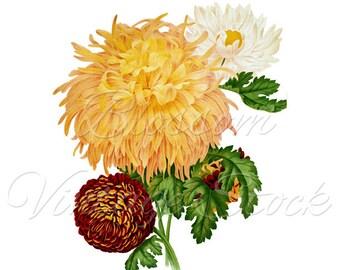 Botanical Prints - Botanical Flowers Antique Illustration Digital Image for Print, Artwork, Collage INSTANT DOWNLOAD -1854