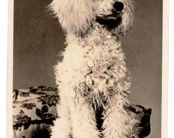 Vintage Real Photo Postcard, MINIATURE FRENCH POODLE,Photos by Guy Withers,Mason's Alpha,1959