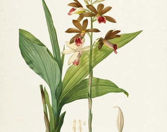 Botanical Print Redoute Orchid Flower, Limodorum Tankervillae Art Print, Botanical Art Print,Flower,Floral,Redoute,green,white,Tankervilleae