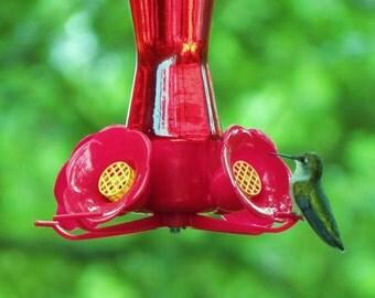 Beautiful Hummingbird on Feeder Photograph, 11x14 large photo print