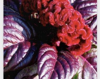 Red Velvety Flower Poster