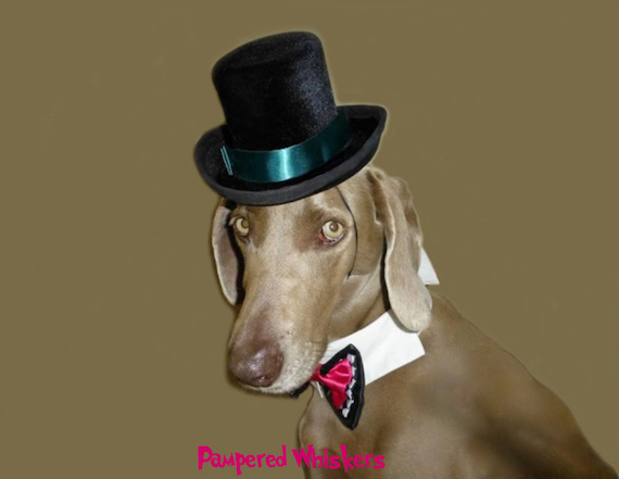 """Top hat for dogs  - The Aristocrat Top Hat for dogs with 16-26"""" collar size"""