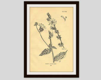 "Antique Flower Print, 5"" x 7.75"", Botanical Illustration, Vintage Wall Art, Floral, Cottage Decor, Wildflower, Gardener Gift, Chicory (309)"
