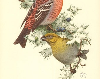 1953 Pine Grosbeak - Pinicola enucleator Vintage Offset Lithograph