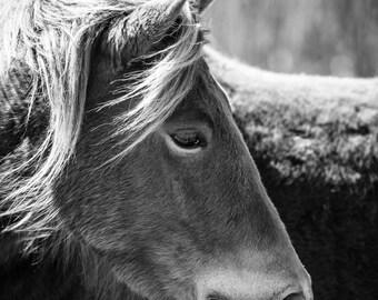 Horse Photo, Pony Portrait, Assateague Peninsula, black and white, animal photo, nature photography, wildlife photo - fine art photograph