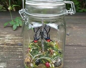Real Glasswing Butterfly- Jar Display- Chorinea faunus