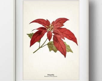 Poinsettia Botanical Print - Holiday Wall Art - INCLUDES plant name on print - FL-30
