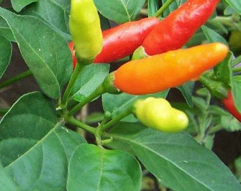VPPH) HOT TABASCO Pepper~Seeds!!!!~~~~~~~Layers of Flavor!!