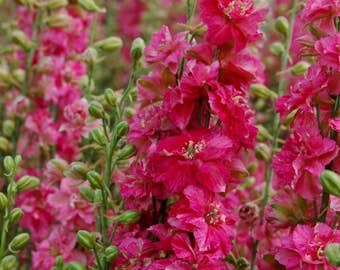 PBDLI)~GIANT IMPERIAL Carmine King Larkspur~Seeds!!!!~~~Glorious!!