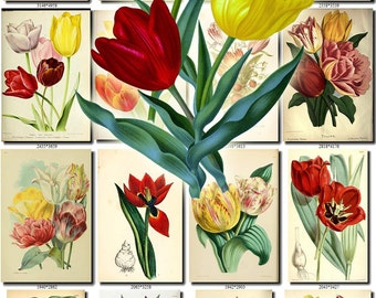 TULIPS-1 Collection of 140 vintage images tulipa botanical pictures High resolution digital download printable 300 dpi double bouquet flavor