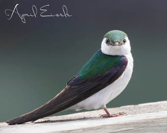Violet-Green Swallow Photo, Swallow Photography, Bird Photography