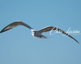 Royal Tern In Flight, Florida Bird Photo, Wall Art, Blue White Artwork
