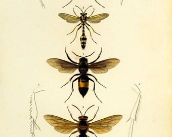 1861 Antique Wasp Print. Hand colored. Orbigny Entomology. Natural History. Fine Art Framing